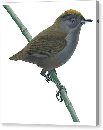 Wrenthrush Canvas Print by Anonymous