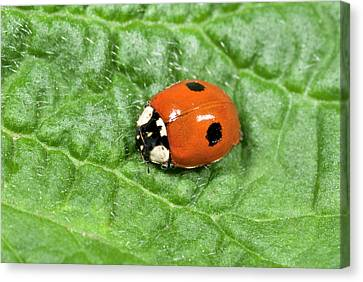 2-spot Ladybird Canvas Print by Nigel Downer