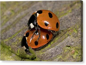 7-spot Ladybirds Canvas Print by Nigel Downer