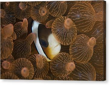 A Clarks Anemonefish Nuggles Canvas Print by Ethan Daniels