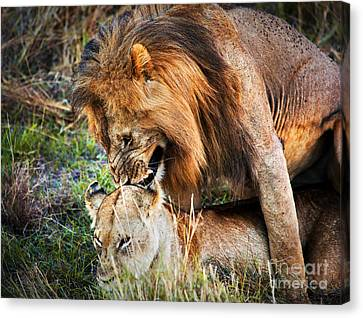 A Couple Of Lions Breed On Savanna Serengeti. Tanzania. Africa Canvas Print by Michal Bednarek