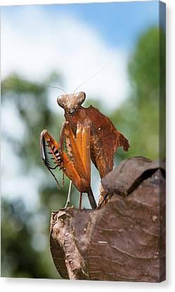 A Dead Leaf Mantis Canvas Print by Scubazoo