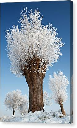 A Frosted Willow On A Very Cold And Bright Winter Day Canvas Print