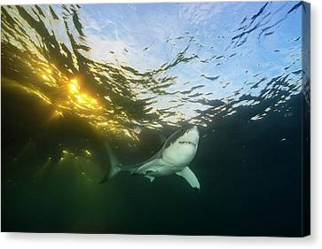 A Great White Shark Swims In Waters Canvas Print