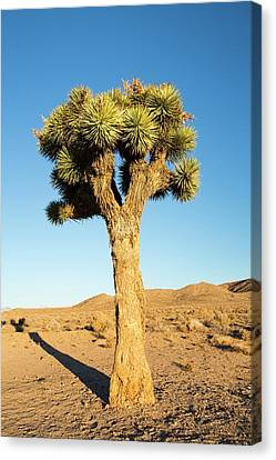 A Joshua Tree Canvas Print by Ashley Cooper
