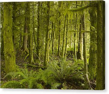 A Lush Forest Tofino British Columbia Canvas Print by Ian Grant