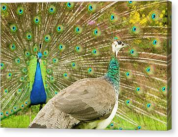 A Male Peacock Displaying To A Female Canvas Print