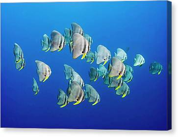 Ocean View Canvas Print - A Small School Of Batfish Swim In Kimbe by David Doubilet