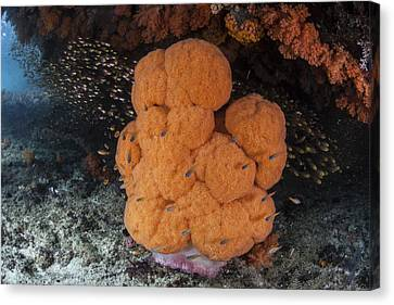 A Soft Coral Colony Grows Canvas Print