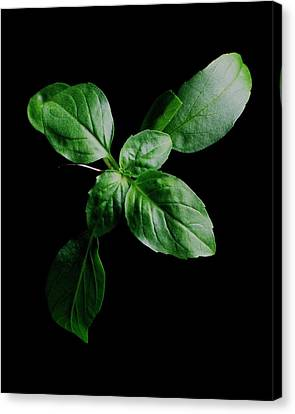 January Canvas Print - A Sprig Of Basil by Romulo Yanes
