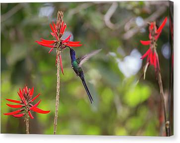 A Swallow-tailed Hummingbird Canvas Print by Alex Saberi
