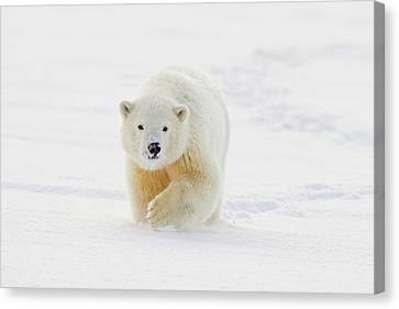 A Yearling Polar Bear Cub Plays Canvas Print by Hugh Rose