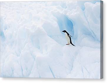 Adelie Penguin On Iceberg Canvas Print by Suzi Eszterhas