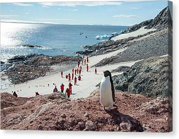 Adelie Penguins Canvas Print by Ashley Cooper