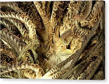 Aequorea Pensilis Canvas Print by Natural History Museum, London
