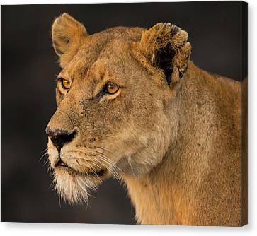 Africa Tanzania African Lioness Canvas Print