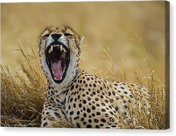 Cheetah Canvas Print - Africa Tanzania Cheetah (acinonyx by Ralph H. Bendjebar