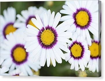 African Daisy Canvas Print by Neil Overy