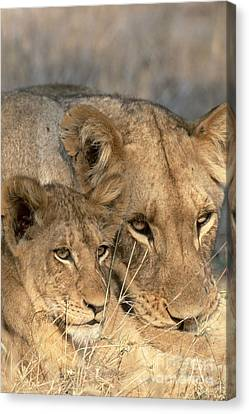 Lioness Canvas Print - African Lion And Cub Panthera Leo by Art Wolfe