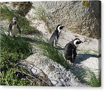 African Penguin Spheniscus Demersus Canvas Print by Panoramic Images