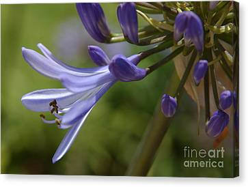 Agapanthus Lily In Pacific Beach Canvas Print by Anna Lisa Yoder