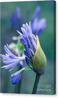 Agapanthus Orientalis - Lily Of The Nile Canvas Print