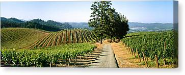 Agriculture - A Hillside Wine Grape Canvas Print by Timothy Hearsum