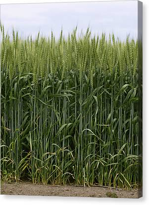 Agriculture - Green Wheat  South Canvas Print by Jim Gipe