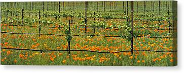 Agriculture - Wine Grape Vineyard Canvas Print by Timothy Hearsum