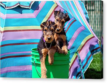 Airedale Puppies In A Green Bucket (mr Canvas Print