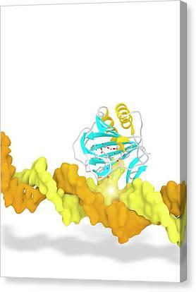 Alkb In Complex With 1-methyl Adenine Canvas Print by Ramon Andrade 3dciencia
