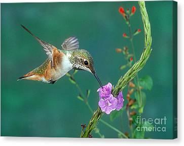 Allens Hummingbird Canvas Print by Anthony Mercieca