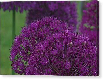 Allium 2 Canvas Print by Ken Dietz