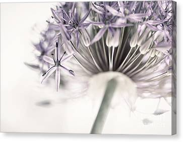 Alliums Canvas Print - Allium Flower by Elena Elisseeva