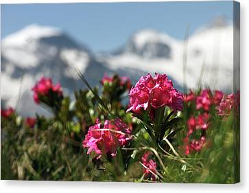 Alpenrose Flowers Canvas Print by Martin Rietze
