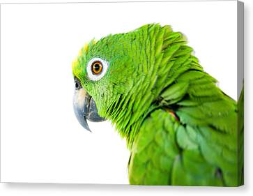 Amazon Parrot Canvas Print