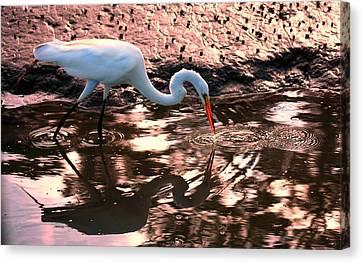 American Egret Canvas Print