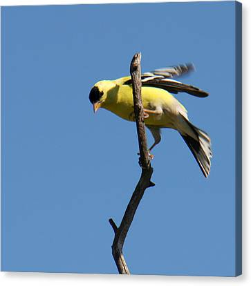 American Goldfinch Canvas Print by Bob and Jan Shriner