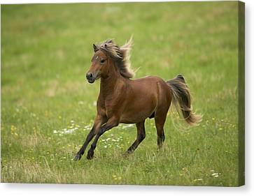 American Miniature Horse Canvas Print by Jean-Michel Labat