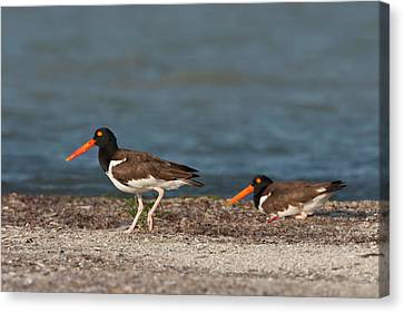 American Oystercatcher (haematopus Canvas Print by Larry Ditto