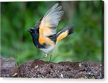 American Redstarts Canvas Print - American Redstart by Anthony Mercieca
