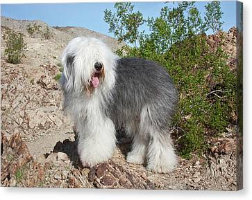 An Old English Sheepdog Standing Canvas Print by Zandria Muench Beraldo