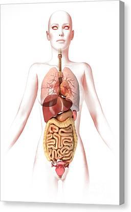 Anatomy Of Female Body With Internal Canvas Print by Leonello Calvetti