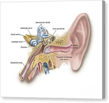 Anatomy Of Human Ear Canvas Print by TriFocal Communications