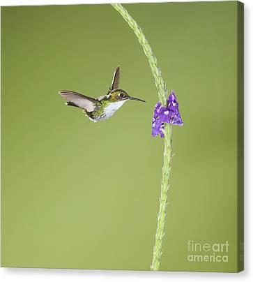 Canvas Print featuring the photograph Andean Emerald Hummingbird by Dan Suzio