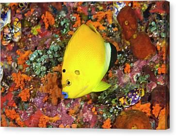 Angelfish, Raja Ampat Islands, Irian Canvas Print by Jaynes Gallery