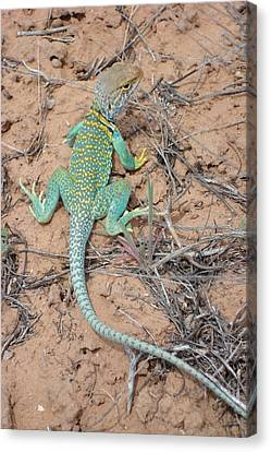 Another Collared Lizard Canvas Print