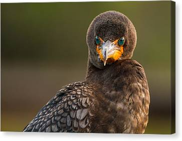 Another Cormorant Face Off Canvas Print by Andres Leon
