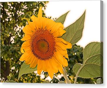 Another Sunflower Canvas Print by Victoria Sheldon