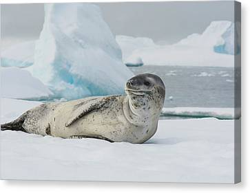 Antarctica Charlotte Bay Leopard Seal Canvas Print by Inger Hogstrom